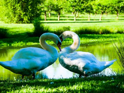 Swans Lake Pond Water Nature White Plumage