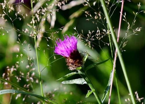 Thistle Plant Flower Bloom Prickly Purple Summer