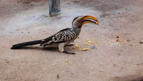 Toko Bird Safari Hornbill National Park Africa