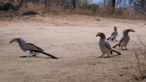 Toko Yellow-Billed Hornbill Africa Safari Bird