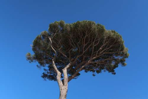 Tree Palma Crown Capri Italy Nature Plant Blue