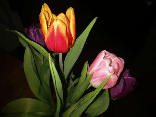 Tulips Flower Holland Gift Frühlingsanfang