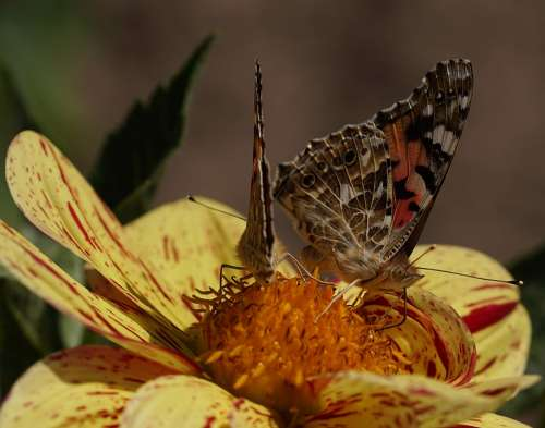 Vanessa Cardui Walking Butterfly Edelfalter Insect