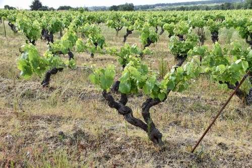 Vines Ceps Grape Culture Vineyard Wine Cultivate