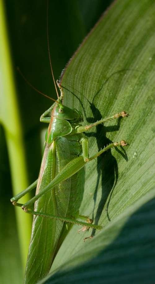 Viridissima Summer Corn Leaf Grasshopper Nature