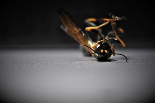Wasp Insect Wing