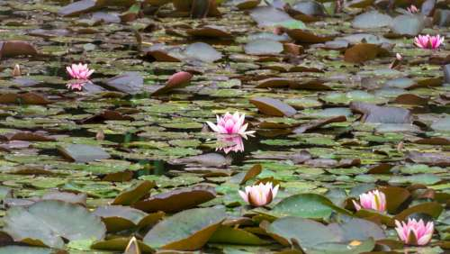 Water Lilies Blossom Bloom Pond Bloom Lily Pond