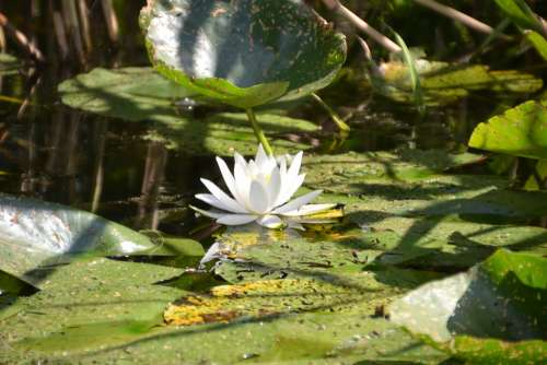 Water Lily White Water Nature Flower Blossom
