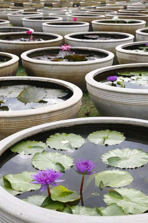 Water Lily Blooming Pond Thailand Ceramic