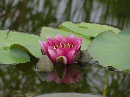 Waterlilies Chalice Water Flower Pond Petals