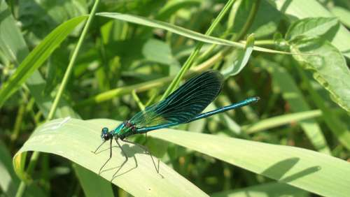 Ważka Stab Insect Summer River Blue Nature