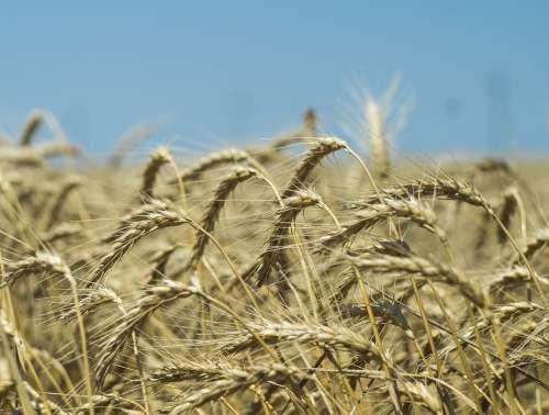 Wheat Harvest Field Cereals Grain Summer Farm
