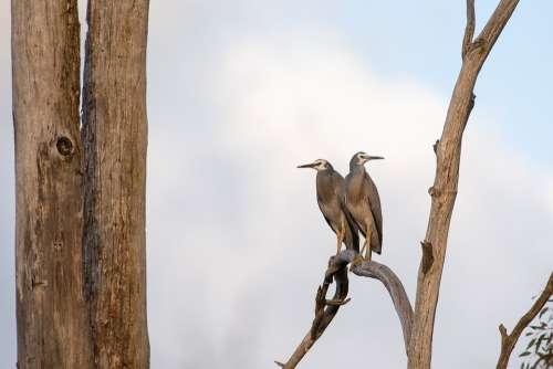 White Faced Heron Heron Bird Wildlife Avian Wild