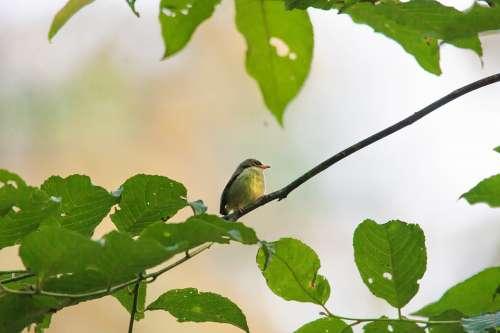 Wild Birds Small Tropical Flycatcher Kind