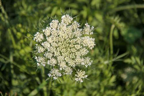 Wild Carrot Flower Hedge Plants Nature Prairie