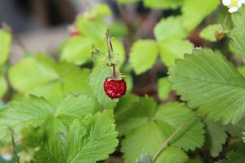 Wild Strawberry Wild Red Fruit Nature