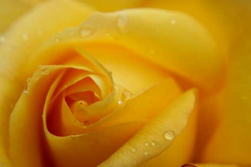 Yellow Rose Macro Rose Feeling Passion Background
