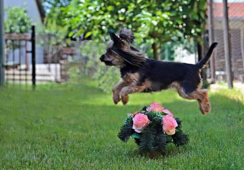 Yorkshire Terrier Dog Cute Roses Wreath Jump
