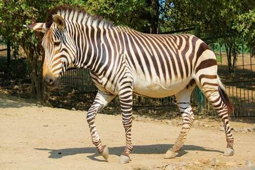 Zebra Lichokopytník Animal Stripes Horse African