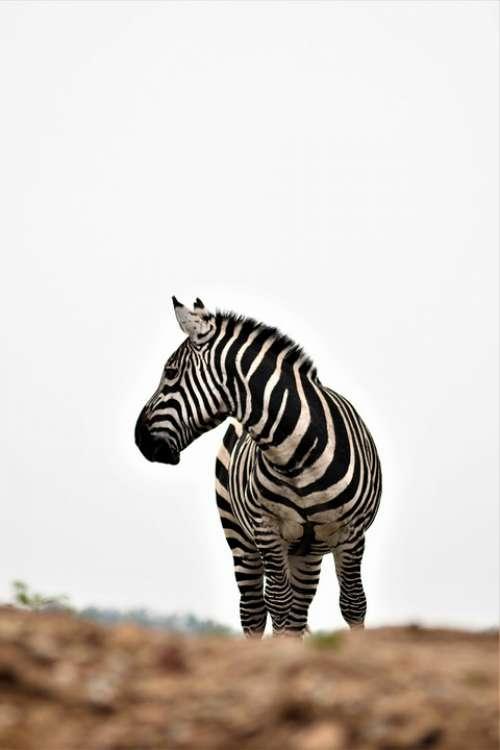 Zoo Emmen Mammal Africa Netherlands Zebra Animal