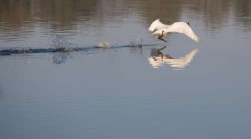 swan about to take off from water with reflection