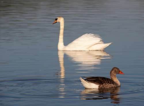 Goose to the foreground with swan behind