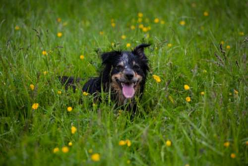 Wet dog laying in grass with yellow flowers
