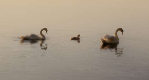 Two swans and a cygnet on a early morning lake