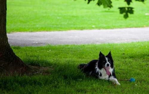 Sheep dog rests under tree in shade