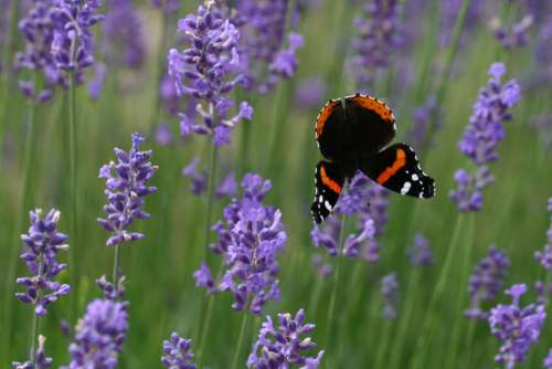 lavender butterfly flower bush field