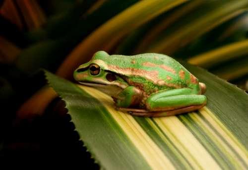 frog leaf green resting animal