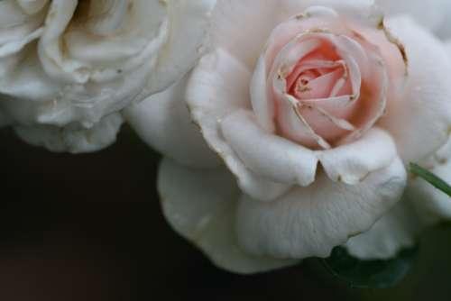 pink roses macro fresh flowers