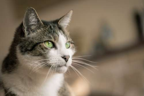 house cat eyes animal fur