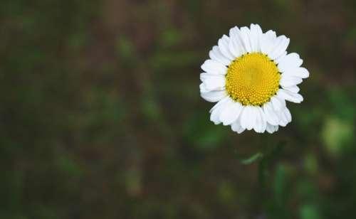 flower daisy garden nature outdoors