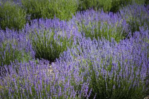 flower field lavender nature outdoors
