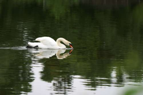 swan bird lake wildlife water