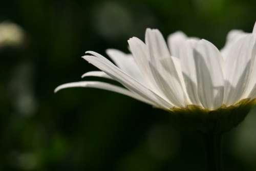 daisy garden nature flora plant