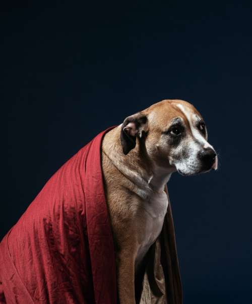A Bewildered-Looking Tan Dog Draped In A Red Blanket Photo
