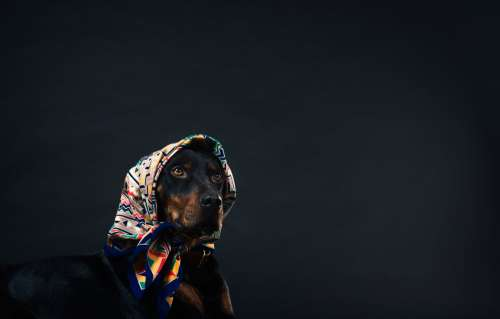 A Black And Tan Dog In A Patterned Head Scarf Photo