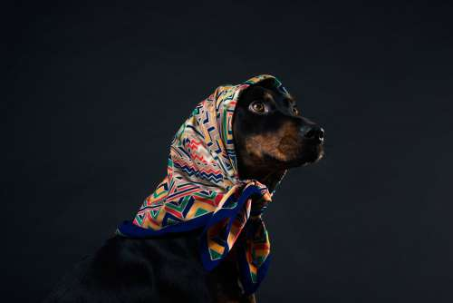 A Black And Tan Dog With Amber Eyes In A Headscarf Photo
