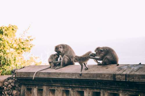 A Family Of Monkeys Tend To Their Beauty Care Photo