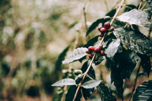 Crimson Fruits Cling To Jungle Branches Photo