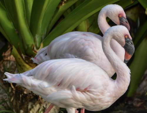 Duo Flamingo Photo