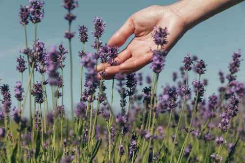 Gentle LavenderFlower Photo