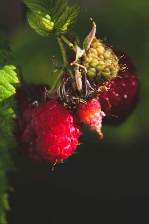 Glistening Raspberries Photo