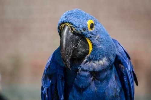 Hyacinth Macaw Photo