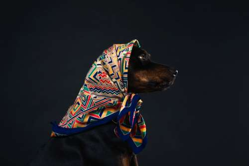Profile Of A Black And Tan Dog In A Patterned Scarf Photo