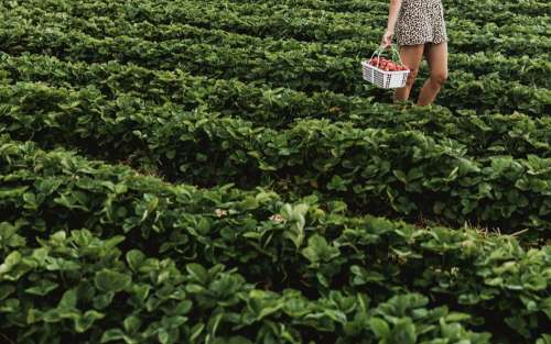 Strawberry Field Photo
