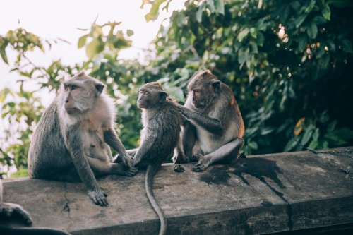 Three Monkeys On A Wall Preen Each Other Photo