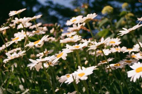 White Flowers With Yellow Hearts In A Sunlit Field Photo